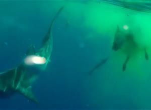 Cursus safariboten als antwoord op haaienincidenten in Egypte