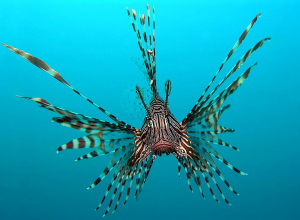 Kunstmatige intelligentie in strijd tegen lionfish