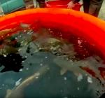 Duizend kilo vis uitgezet in de Vinkeveense Plassen
