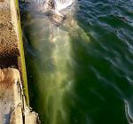 Walvis aangetroffen in Sloehaven Vlissingen