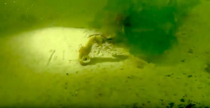 Lagoondivers spotten zeepaardje in Oosterschelde