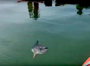 Nieuwe beelden maanvis Waddenzee