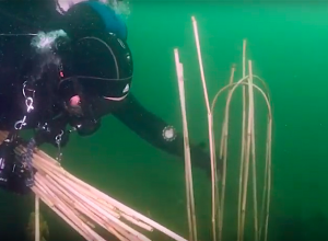 Sepiastokken in diverse duikplaatsen in Zeeland
