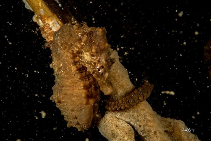 Zeepaardje gespot door Joey Bokkers van Moby Divers