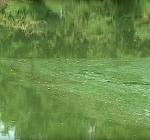 Zwem en duikverbod in Blaarmeersen vanwege blauwalg
