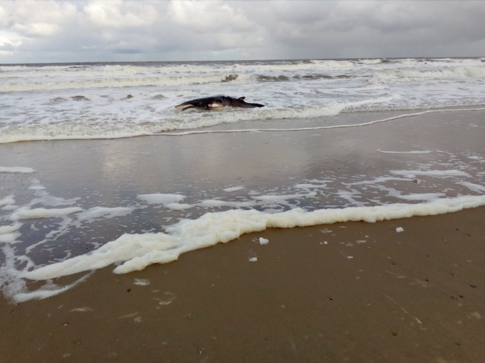 Dwergvinvis aangespoeld op het strand van Texel