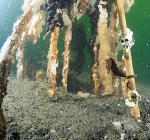Schade aan rekjes Bergse Diepsluis door spotten zeepaardje