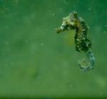 Pas geboren zeepaardjes gespot in de Oosterschelde