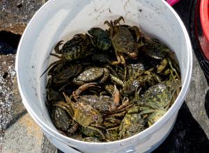 Krabben stropen loopt de spuigaten uit in de Grevelingen