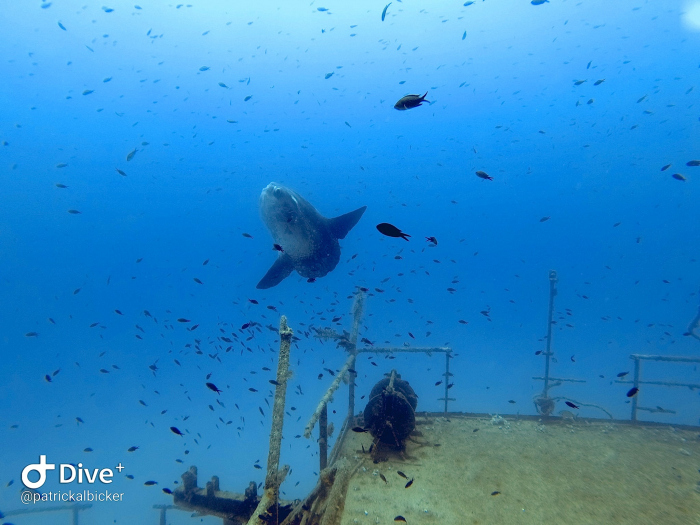 Mola mola gespot op Malta