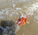 Zeldzame octopus aangespoeld in het Belgische De Haan
