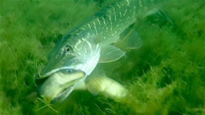Epic fight between pike and eel. How does it end?