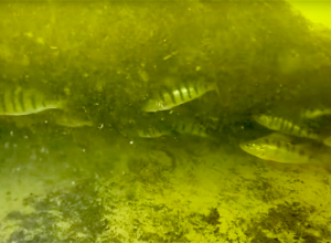 Visonderzoek Vinkeveense Plassen na zonsondergang. Tijdelijk beperkt duiken