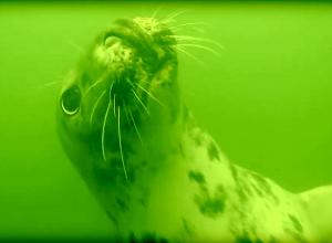 Nieuwsgierige zeehond bij Den Osse Nieuwe Kerkweg