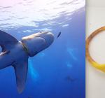 Gewonde haai Brother Islands bevrijd