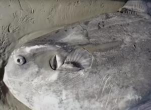 Maanvis aangespoeld bij het Belgische Nieuwpoort