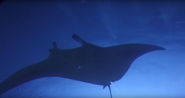 Duikers spotten Oceanische Manta Rog bij Lanzarote