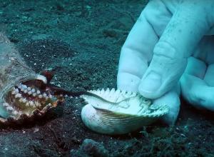 Duikers onderhandelen met octopus over veiliger huisje