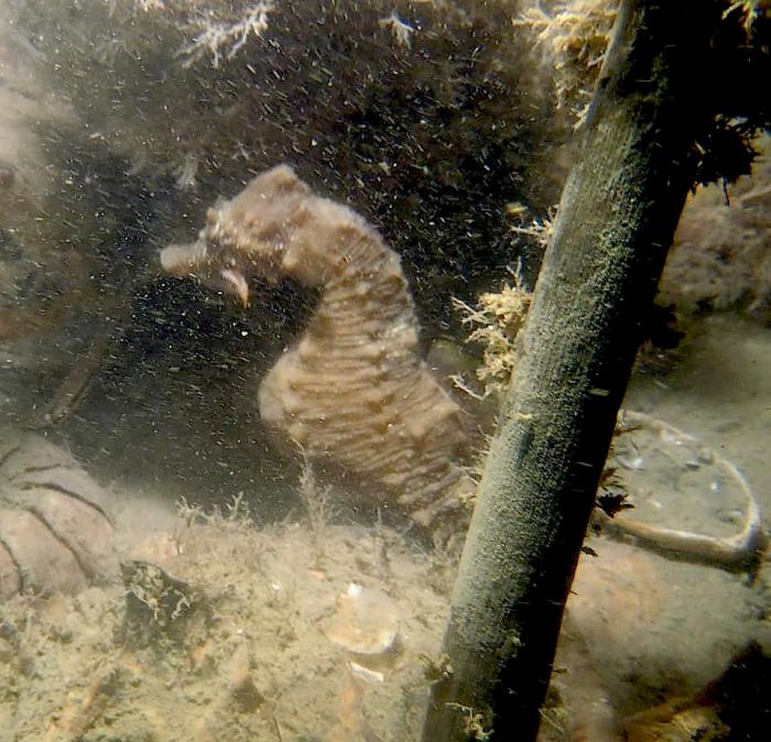 Zeepaardje gespot in het Veerse Meer