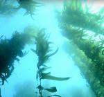 Megazicht bij duikstek Noordpier IJmuiden door zeewier