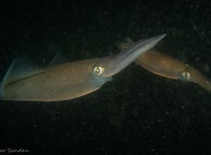 Eerste pijlinktvissen 2021 gespot