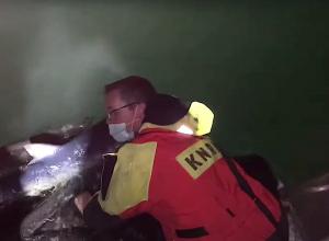 Aangespoelde blauwe haai teruggezet in Noordzee