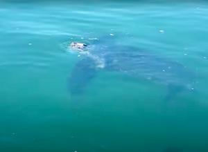 Belgische garnalenvissers halen lederschildpad uit hun netten