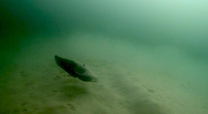 Meerval gespot in onbekende oostkant Put van Ekeren