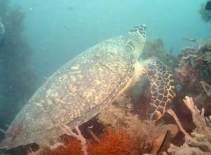 Schildpad vernoemd naar Nederlandse duiker. Turtle Diverkees