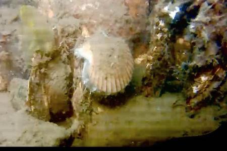 Wijdemantel gespot bij Stavenisse Haven