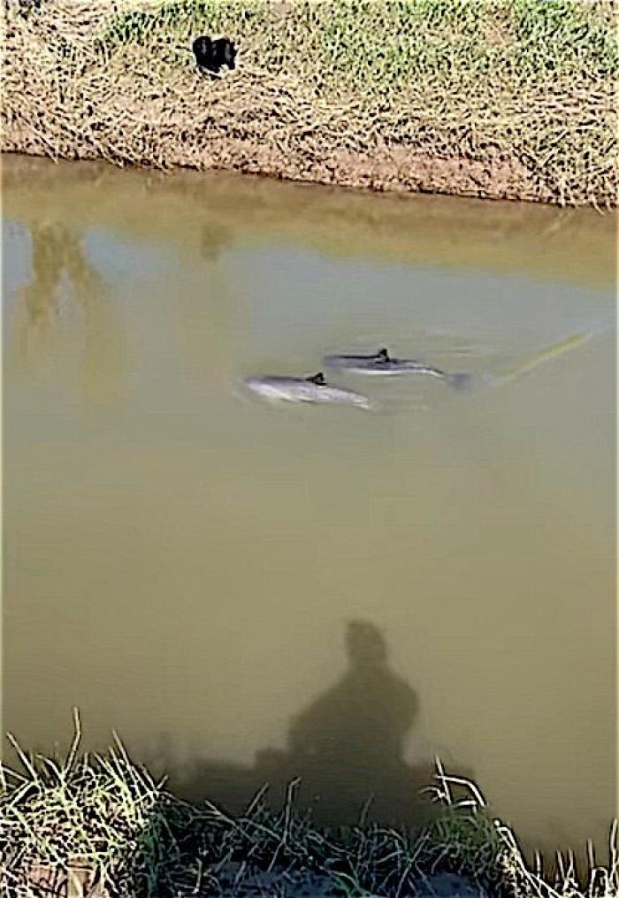 Bruinvissen in Engels riviertje bij Burrowbridge