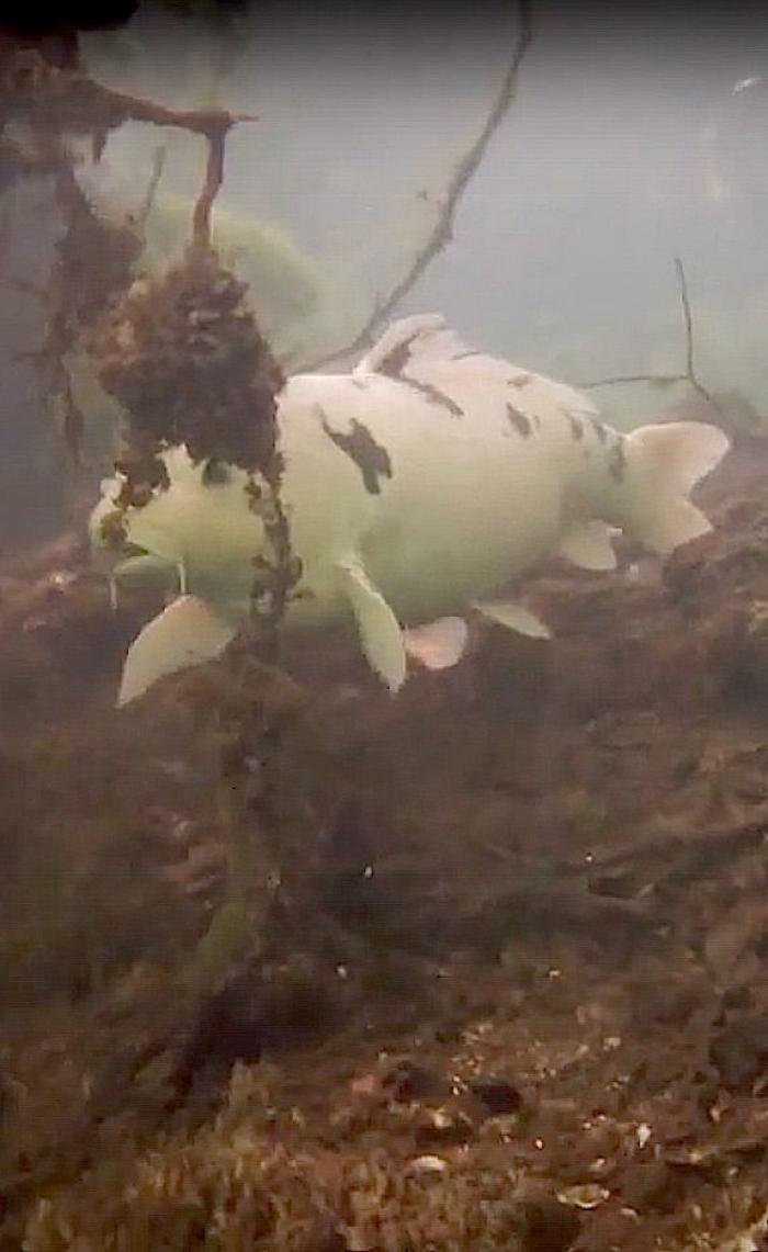 Witte karper gespot in duikstek de Baars
