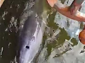 Tuimelaar dolfijn volgt schip tot in de haven van Amsterdam