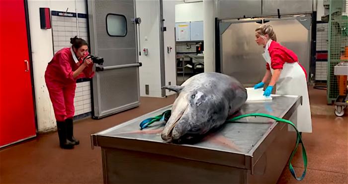 Doodsoorzaak dolfijn Zafar is bekend
