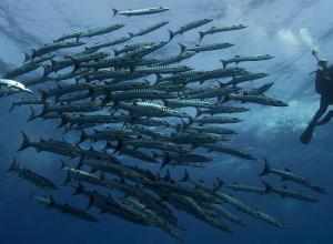 Jouw duik met 300 barracuda's