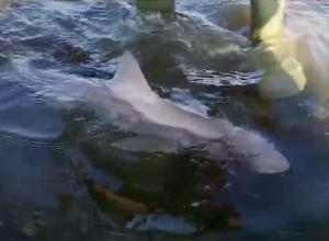 Haaien in de Oosterschelde worden steeds groter