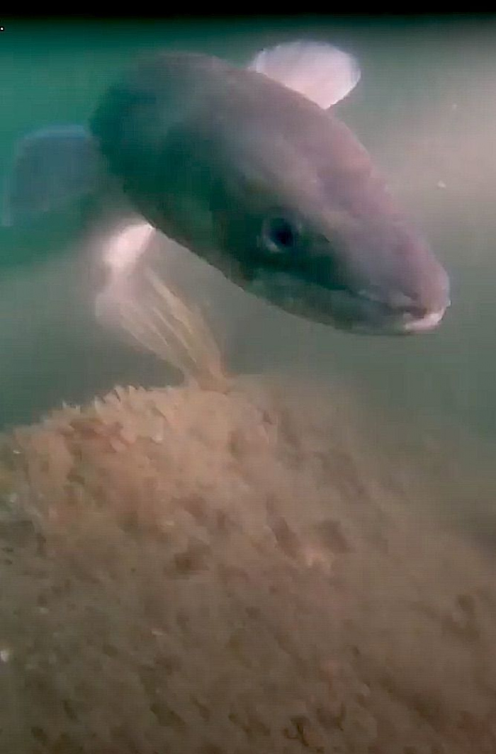 Noordzeeduikers spotten 2 meter lange kongeraal in wrak U31