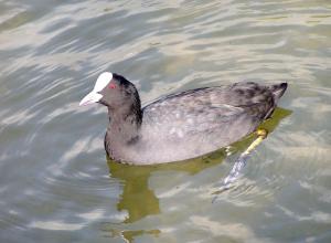 Tien dode meerkoeten in duikplaats Stroombroek door blauwalg