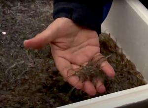 Miljoenen palingen uitgezet in de Grevelingen