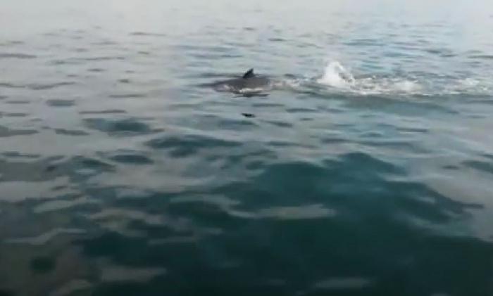 Spitssnuitdolfijn gespot voor de kust van Wassenaar