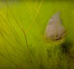 Twee meervallen en een enorme steur in één duik