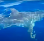 Grote witte haai gefilmd voor de kust van Lampedusa
