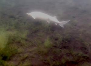 Witte steur gespot in Bronsbergenmeer