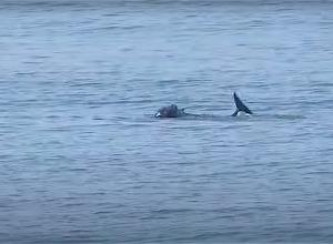 Grijze zeehond valt bruinvis aan. Heftige beelden!