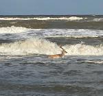 Hert maakt duik in Noordwijk aan Zee