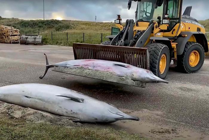 Twee spitssnuitdolfijnen aangespoeld bij Monster