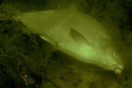 Duikers bevrijden brasem van afgebroken vislijn