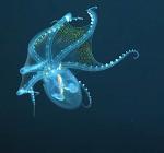 Duikers spotten 'glazen octopus' in de Grote Oceaan. Heel zeldzaam