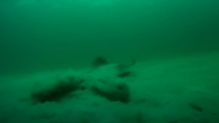 Pijlstaartrog gespot zonder staart