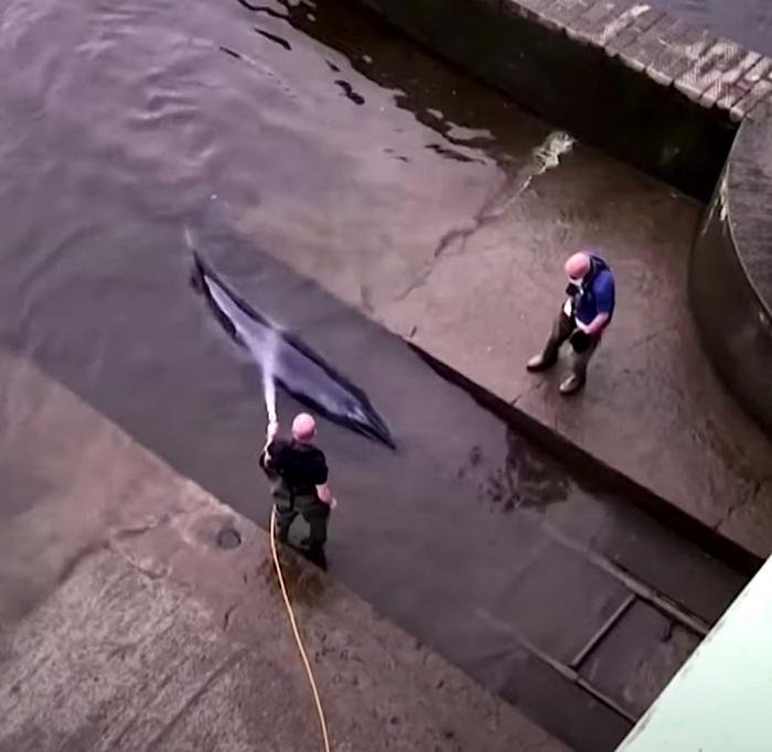 Zo werd de kleine walvis bevrijd uit een sluis van de Theems